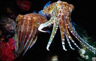 cuttlefish-324x205